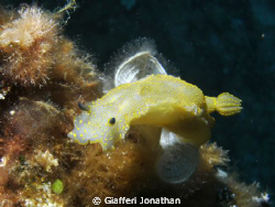 Doris g&#233;ante  - Giant doris -